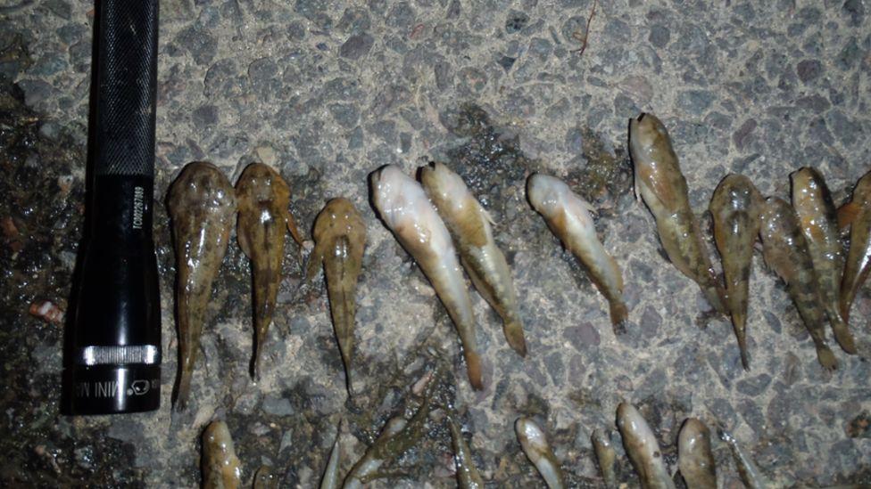 Dead bullhead fish
