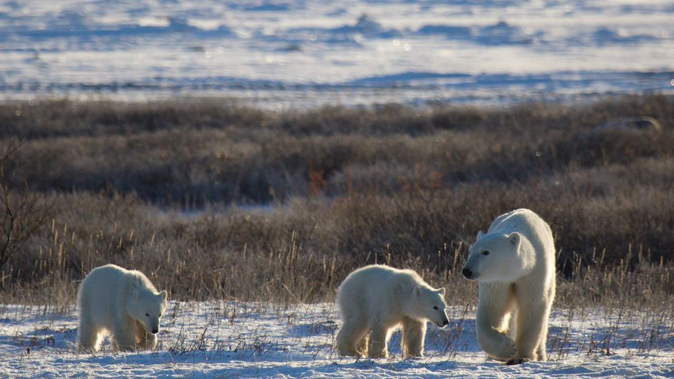 Polar bears in Arctic summer