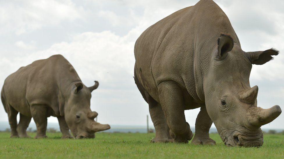 Northern white rhinos at Ol Pejeta Conservancy in central Kenya: Najin (right), Fatu (left)