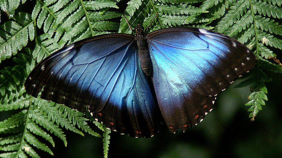 Blue Morpho butterfly are prized by butterfly collectors, due to the bright iridescent blue colour of the wings on most species, Montreal Insectarium, Quebec, Canada.