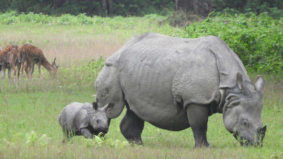 A rhino grazes with a young rhino calf alongside her
