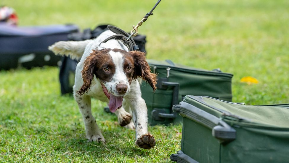 A springer spaniel on a lead walking past luggage, which has laid out on the grass, during training in Arusha, Tanzania