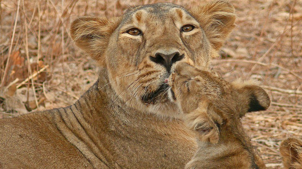 A lioness with her cub photographed by Sandeep Kumar, Deputy Conservator of Forests in Gir