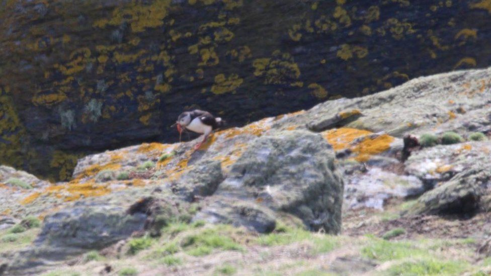 Puffin carrying nesting material