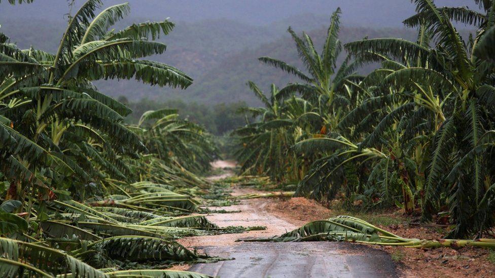Some banana trees fall along a path in a farm in Guantanamo, Cuba, on 5 October 2016