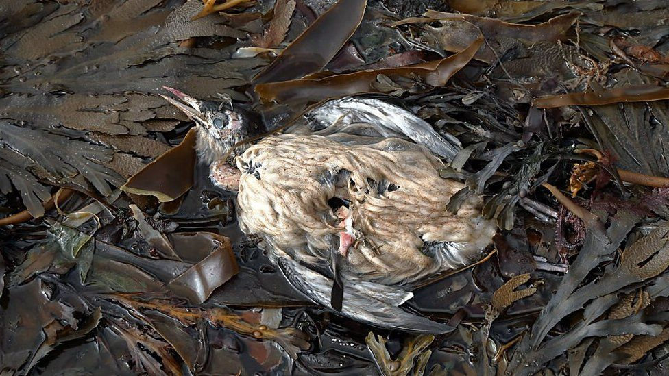 A dead guillemot washed up at Dod's Well near Berwick
