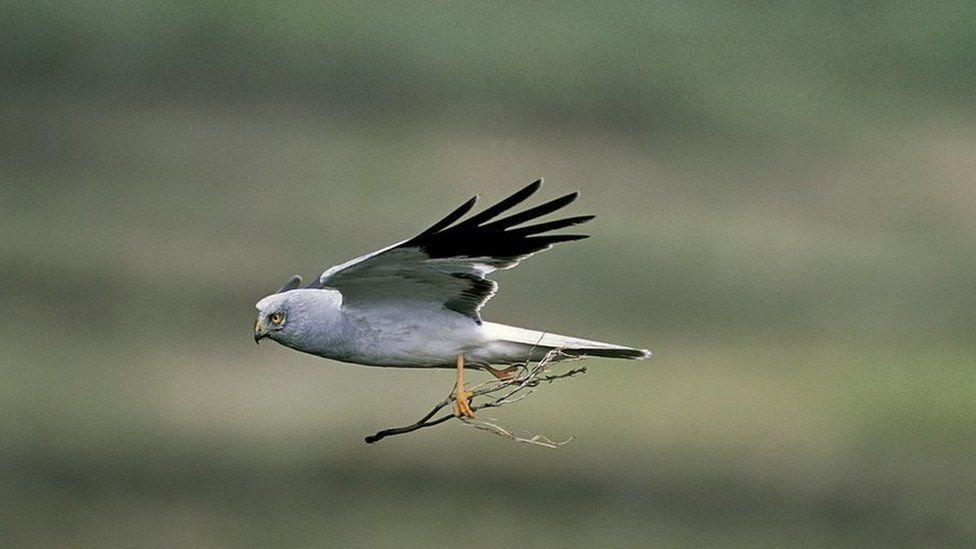 The upland is a stronghold for the hen harrier