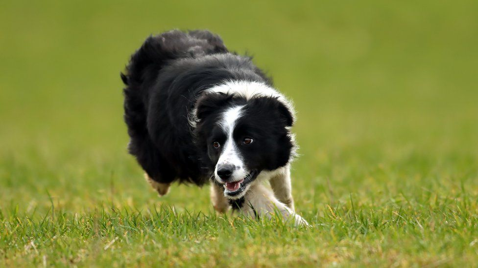 Megan the sheepdog