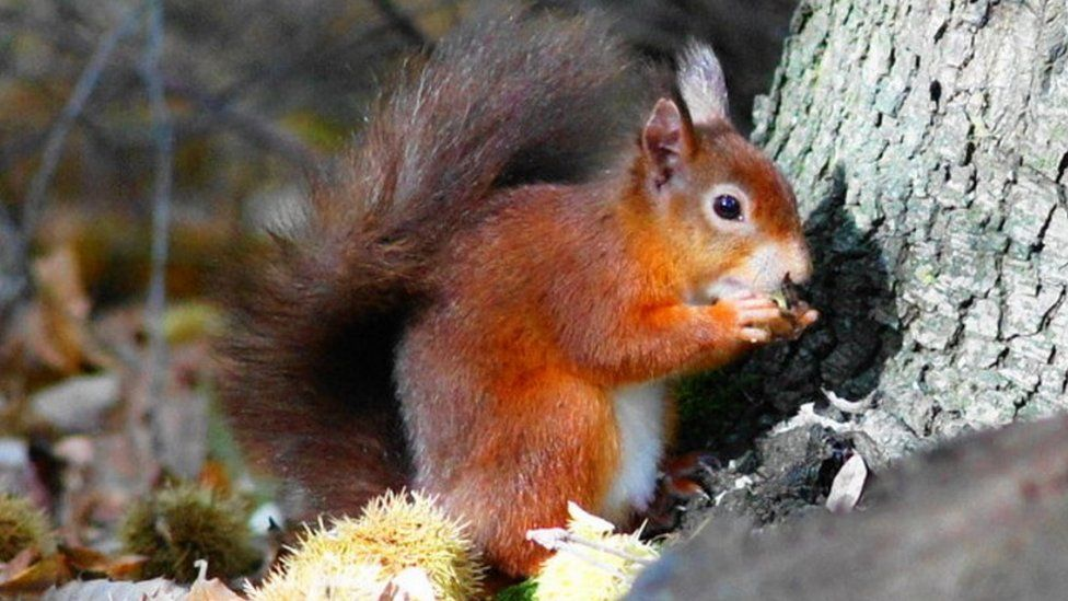 A red squirrel on Brownsea Island, Dorset