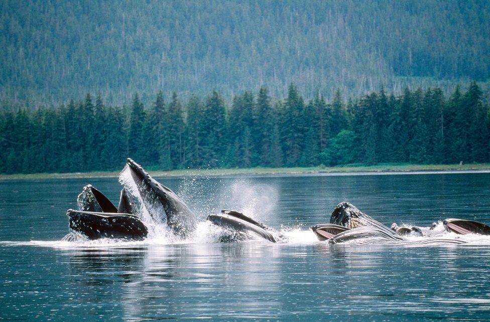 Why whales in Alaska have been so happy thumbnail
