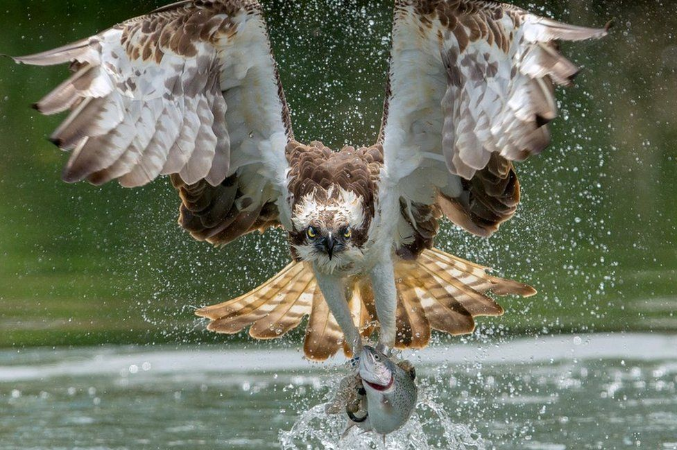 Osprey taking a trout from the water