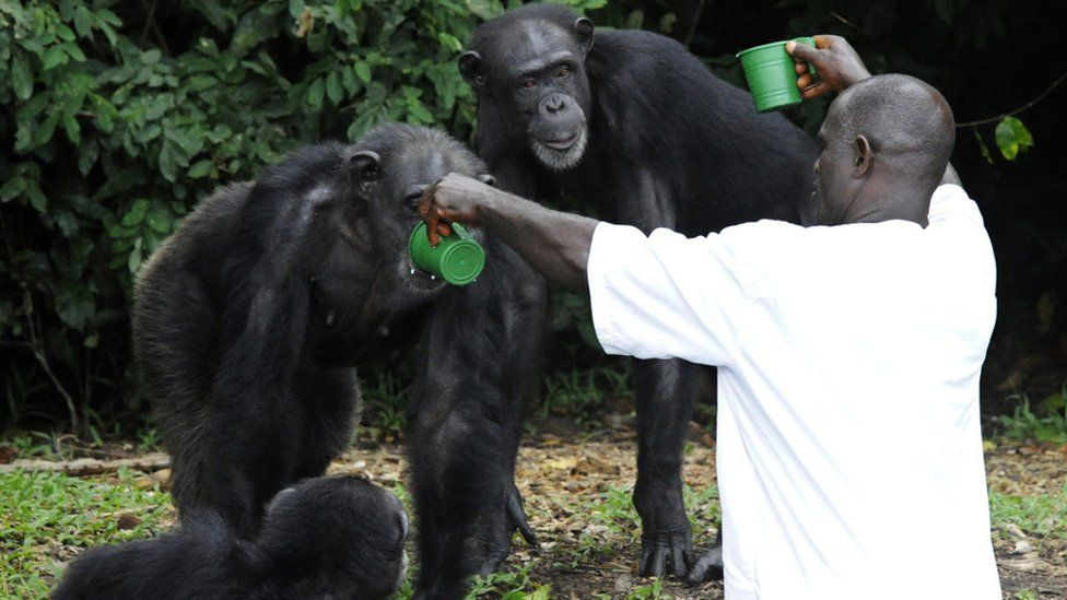 feeding of chimpanzees on June 29, 2015