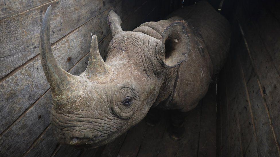 A black rhino in a crate