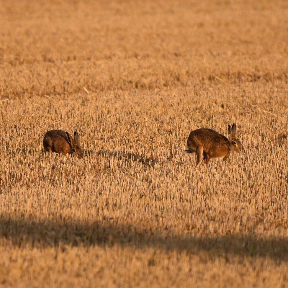 Hares running through a field