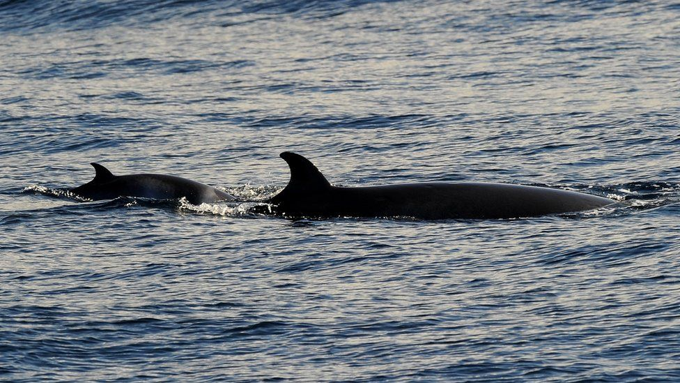 A minke whale and calf off the coast near Sydney in June 2010