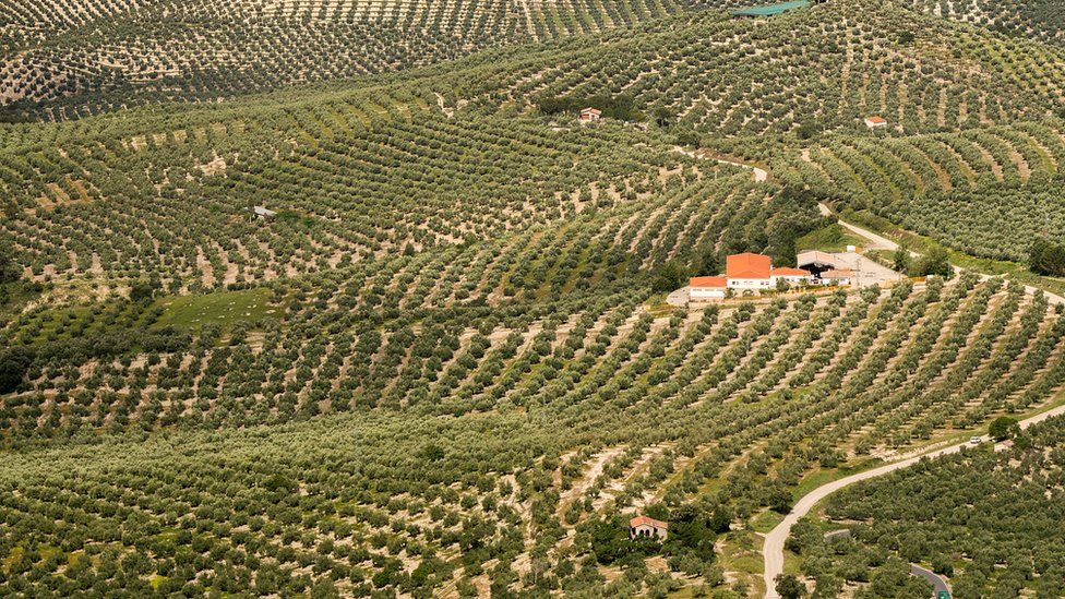 Olive orchard in the south of Spain