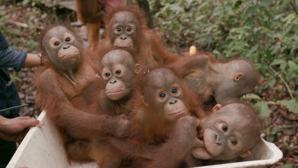 Baby orangutans in a wheelbarrow