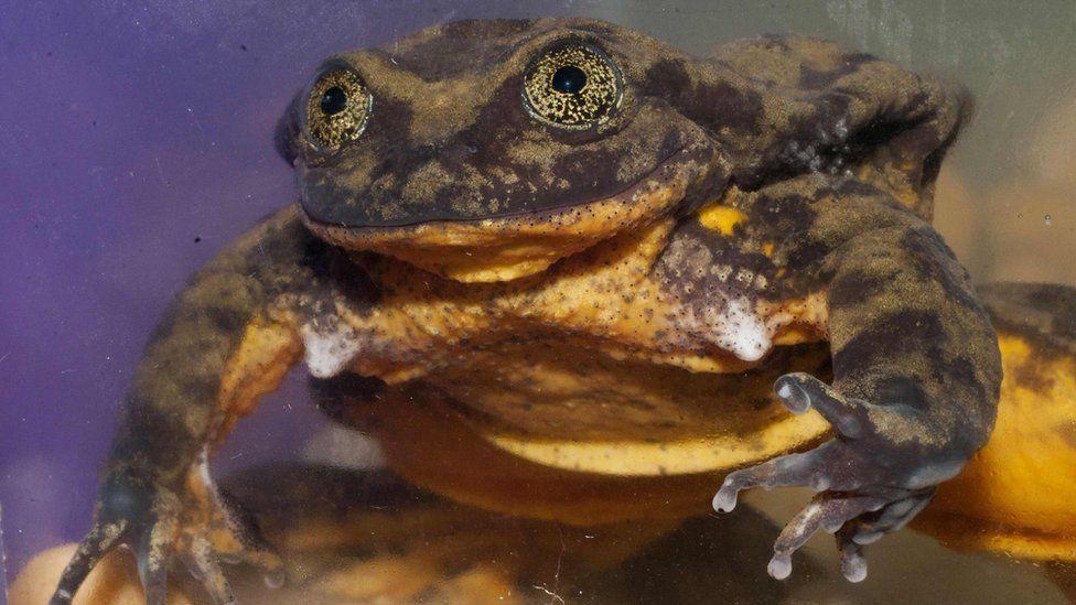 Romeo: la rana boliviana que lleva 9 años buscando una hembra para aparearse y podría ser la última de su especie