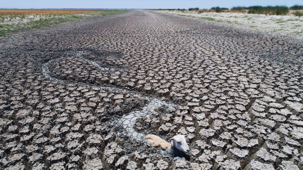 A ram tries to make its way through a completely dried up river, surrounded by very dry mud