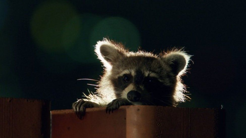 Raccoon, file pic