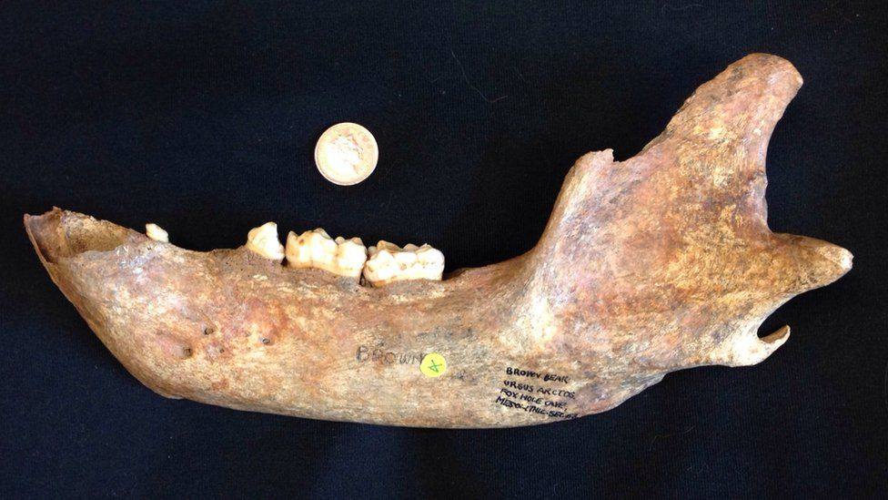 The jaw of a bear from Foxhole Cave, Derbyshire