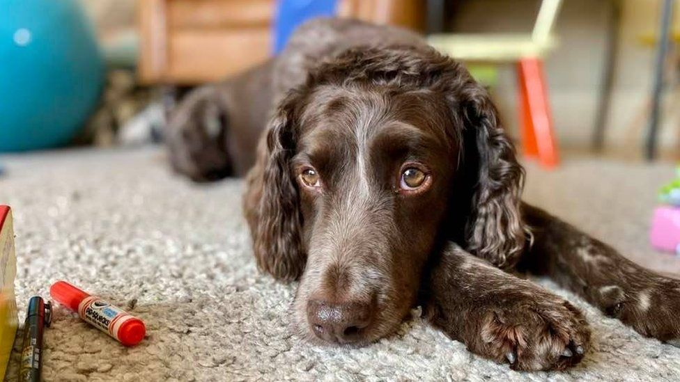 An annoyed-looked spaniel