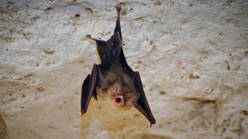 El murciélago de orejas de embudo de Cuba (Natalus primus)