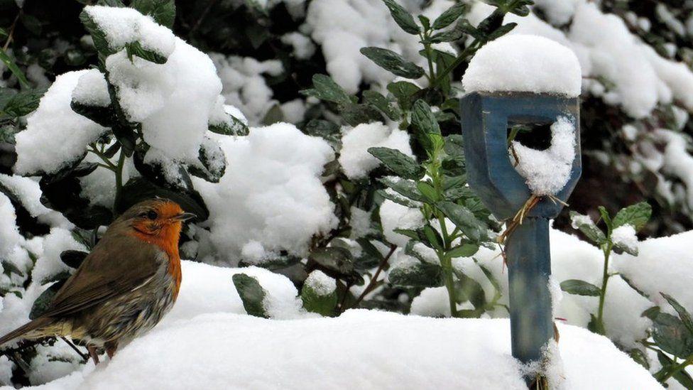 A robin on the snow