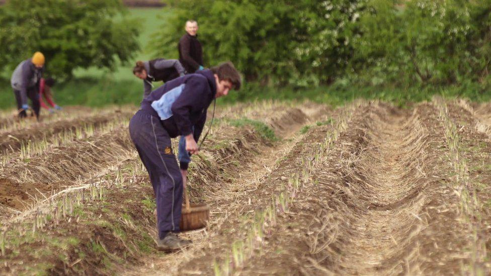 worker in asparagus field