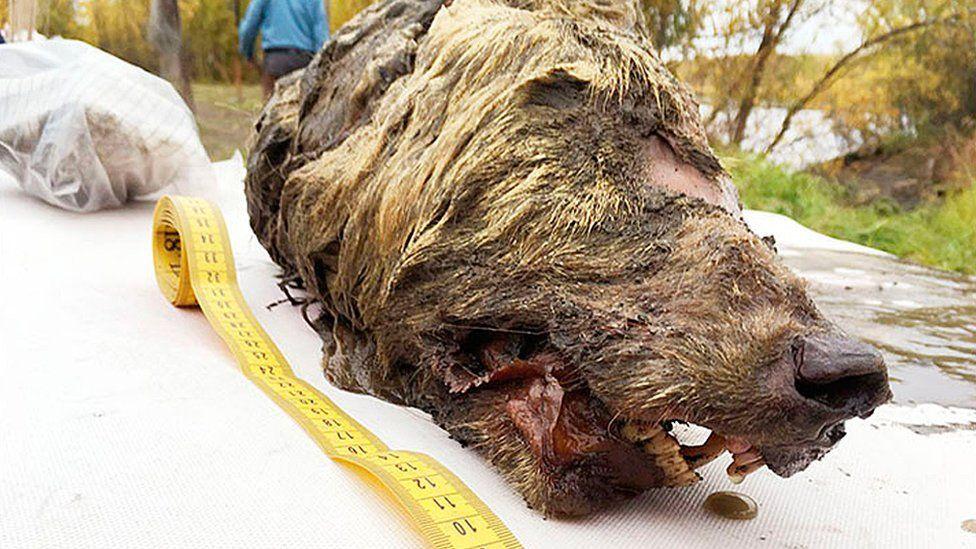 La impresionante cabeza de un lobo gigante de más de 30.000 años hallada en Siberia con los colmillos y el cerebro intactos