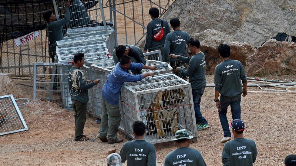 Thai wildlife officials use a tunnel of cages to capture a tiger and remove it from an enclosure at the Wat Pha Luang Ta Bua Tiger Temple in Kanchanaburi province