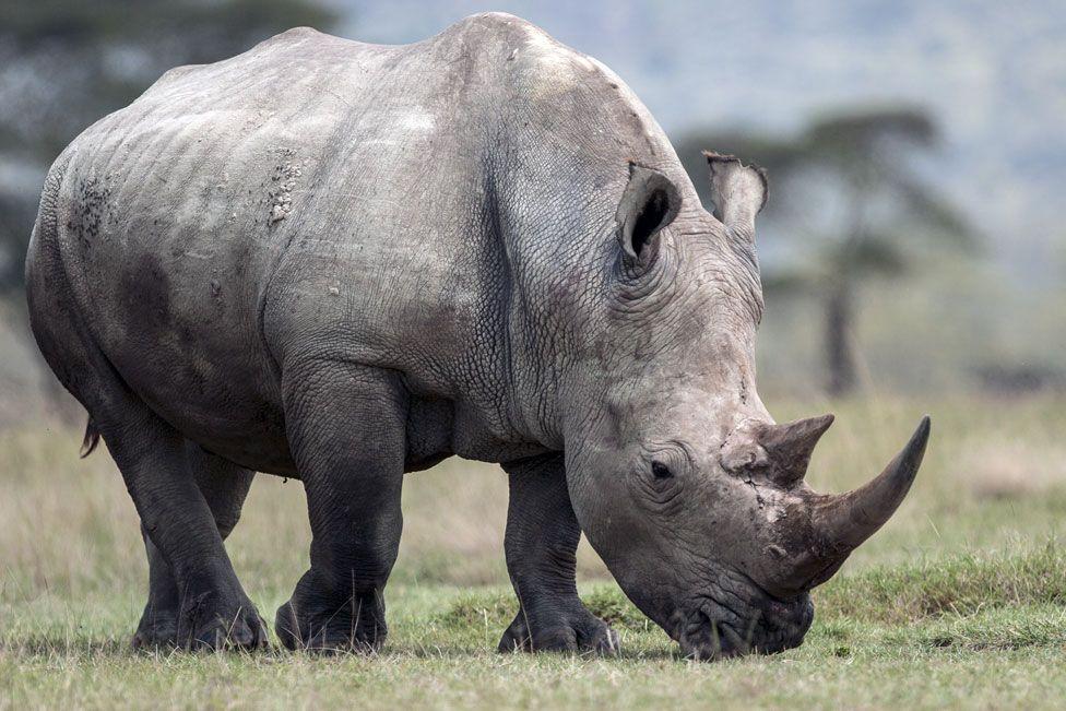 White rhino, Laikipia, Kenya