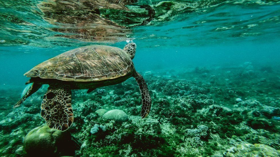 A turtle swims above a coral reef