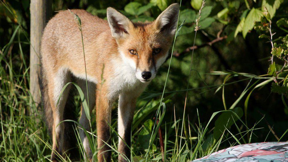 A urban fox on an allotment