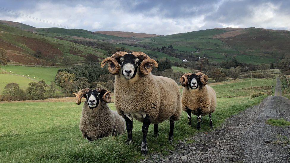 Blackface tup sheep at Macqueston Farm in Dumfrieshire
