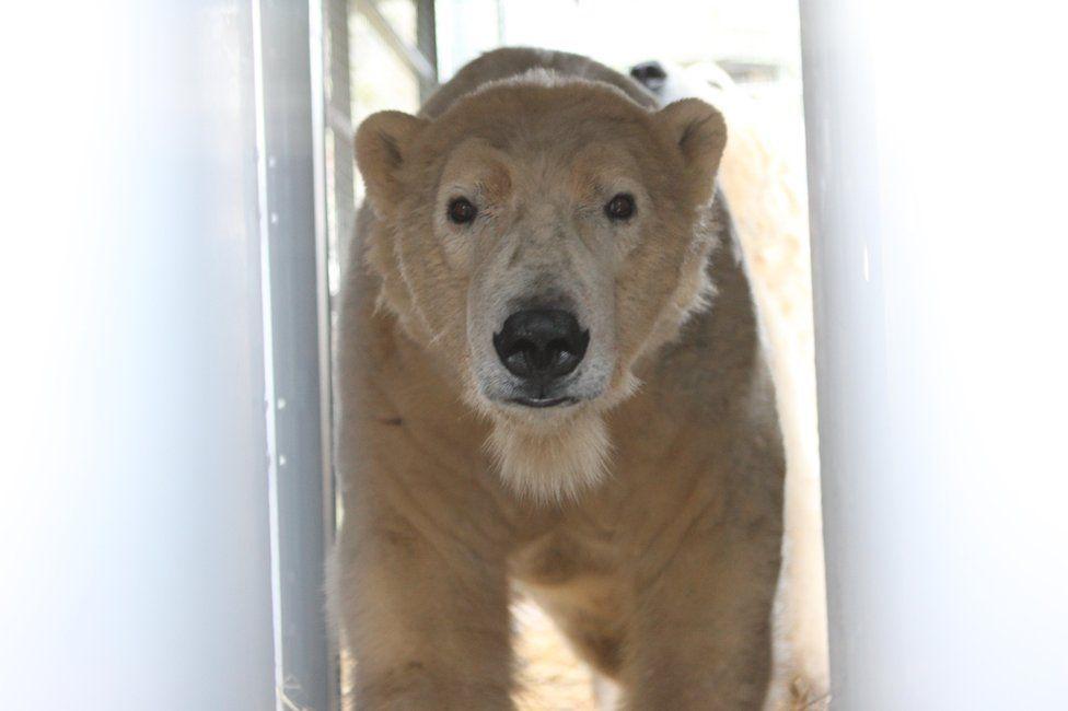 Polar bear Arktos