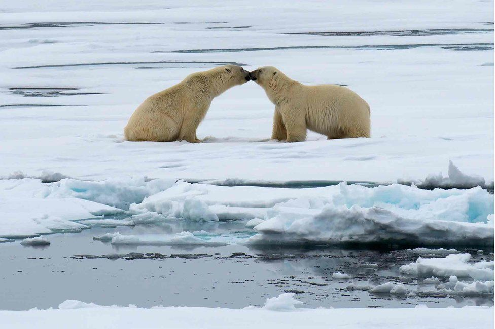 This polar bear image entitled 'Nose to Nose' was taken June 2015 in the ice flows north of Svalbard