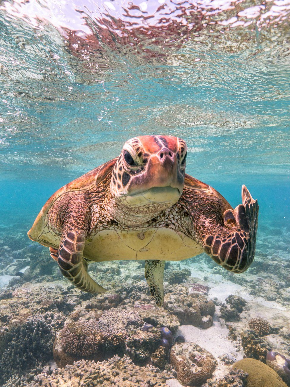 A turtle appearing to be gesticulating at the camera