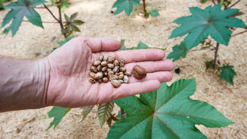 Castor seeds, which are used to make the deadly ricin poison