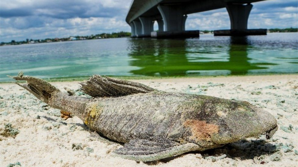 "A dead walking catfish on the shore with algae along Sewell""s Point on the St. Lucie River."