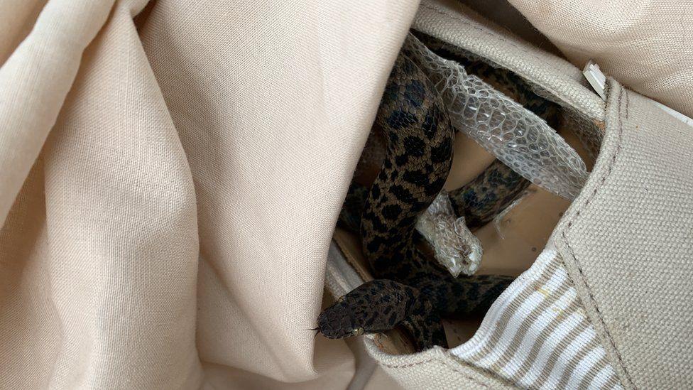 Snale inside a shoe