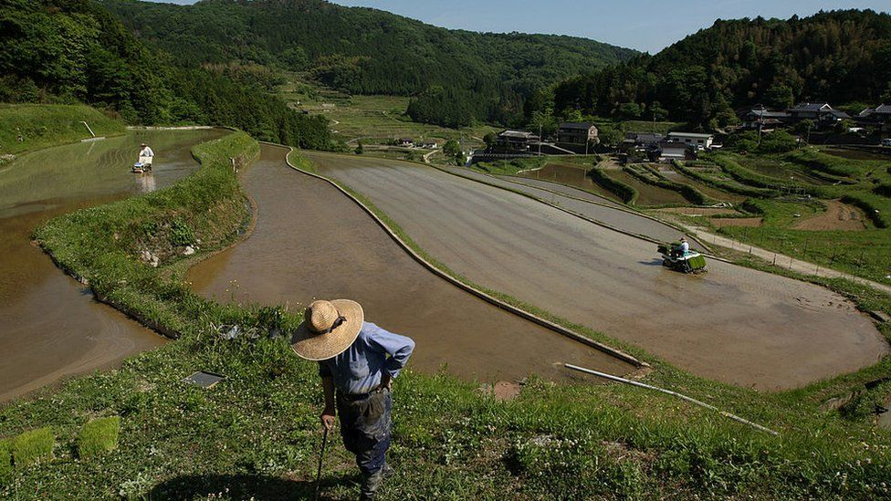 Japanese farmers plant rice seed using a rice transplanters