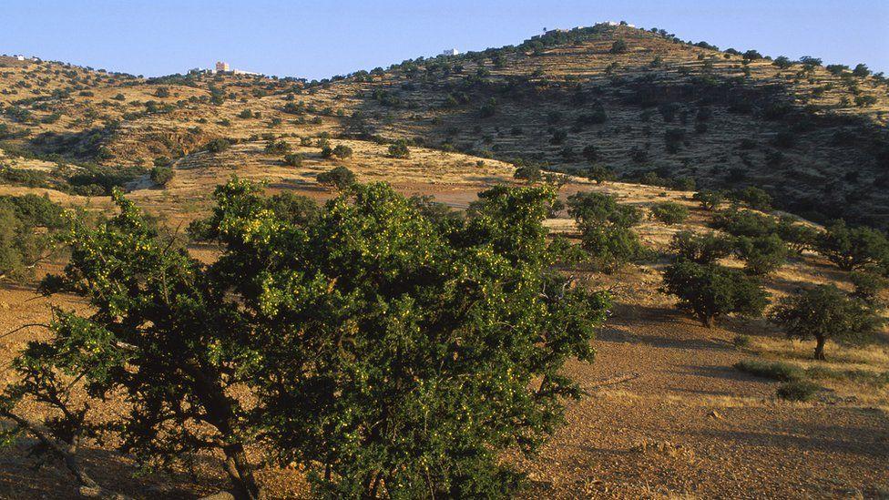 Argan trees in Morocco