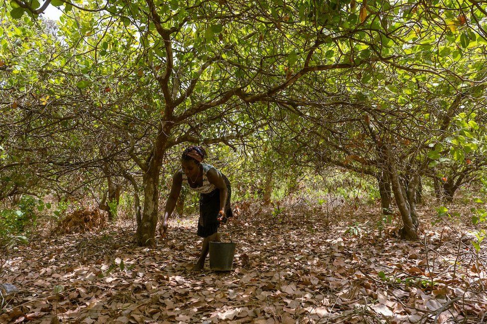 Meia Nianta collects cashew nuts and apples from her 1.5 hectare farm just outside of the capital city, Bissau. She said the harvest starts in March and wraps up around June in the West African country. She usually works from mid-afternoon until late in the evening.
