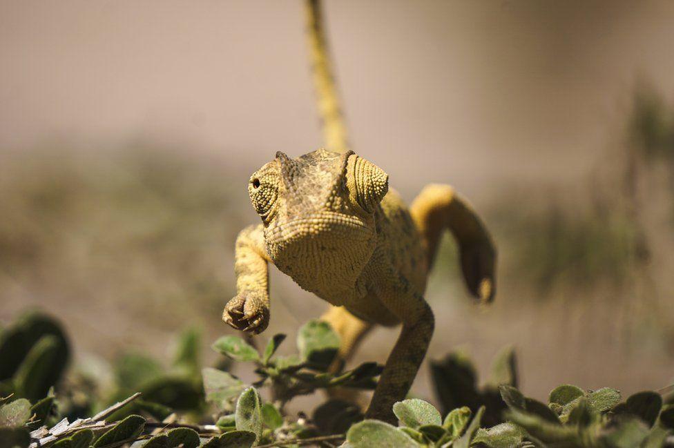 A running chameleon