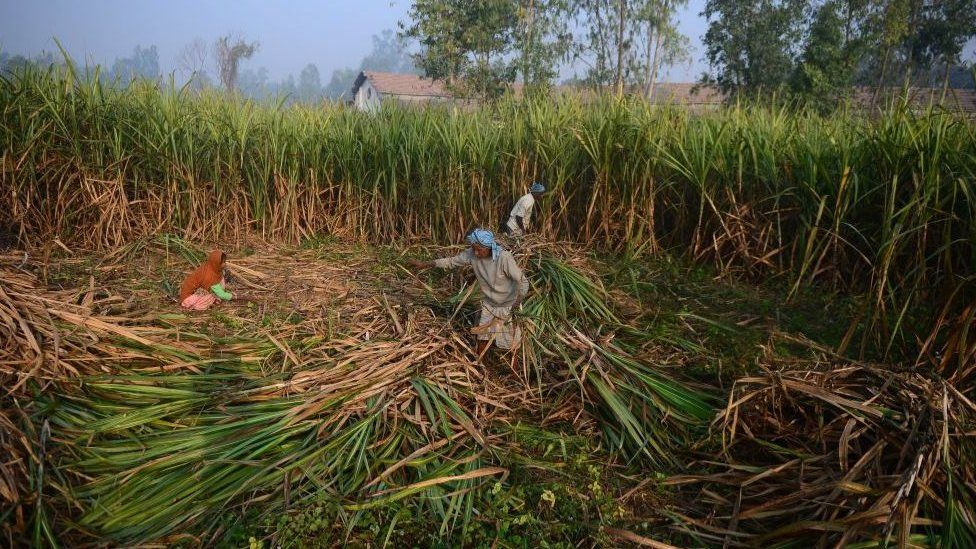 Indian workers in cane field