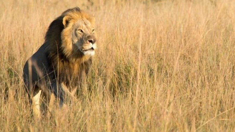 Six-year-old Xanda lion