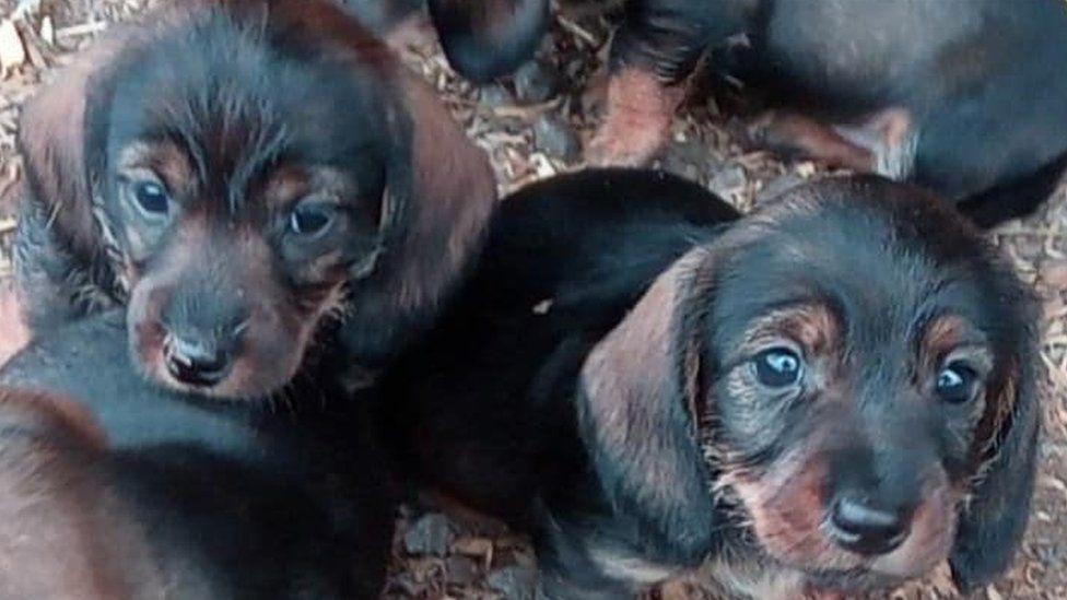Dachshund puppies stolen from Staffordshire farm