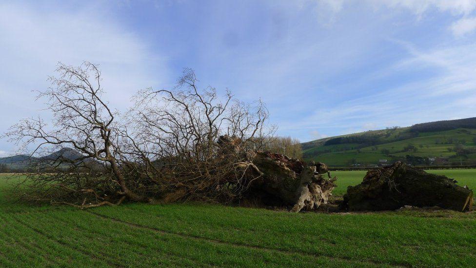 The fallen Buttington Oak