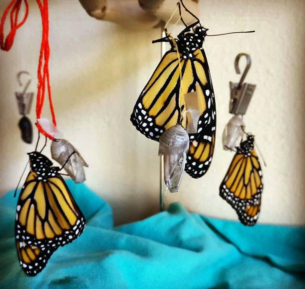 Butteflies after emerging from their chrysalises